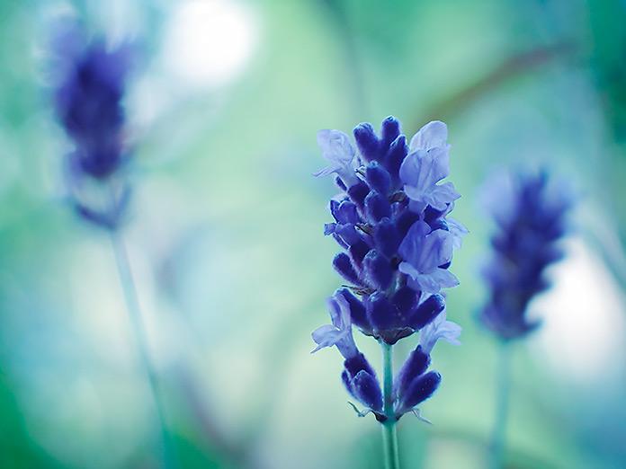 lavender hued